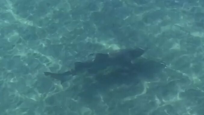 VIDEO: Shark pays a visit to Kitty Hawk Pier - OBX Today